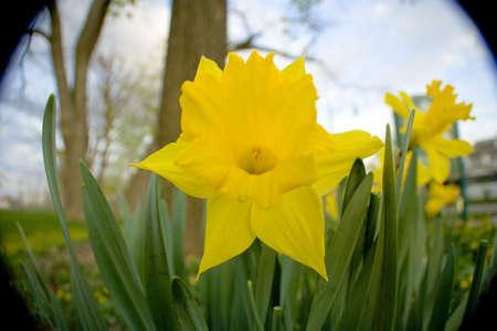 公園内のいくつかの黄色の daffodill 花 写真素材