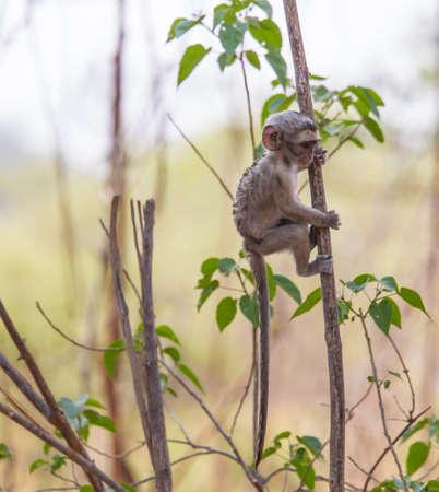 botswana: Cute baby vervet monkey exploring, Botswana