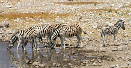 herbivore natural: Zebra herd at waterhole, Etosha, Namibia Stock Photo