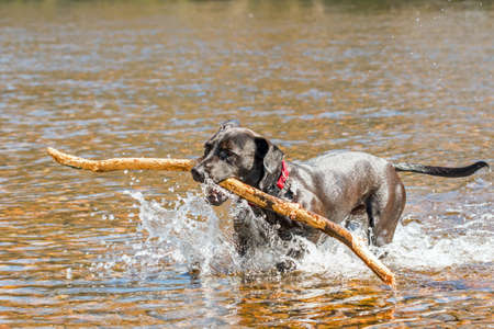 fetching: Happy black dog fetching a stick from a river Stock Photo