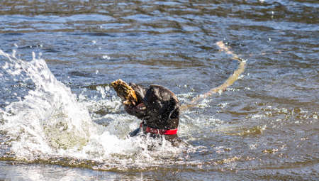 fetching: Happy black dog retrieving a large stick from a river