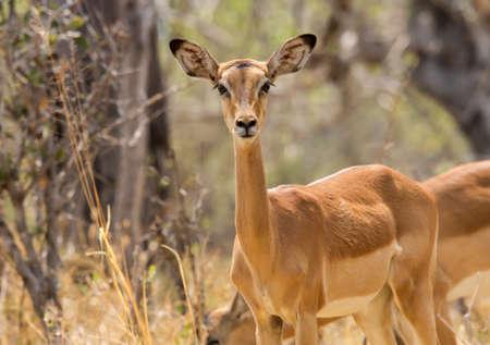 Inquisitive female impala