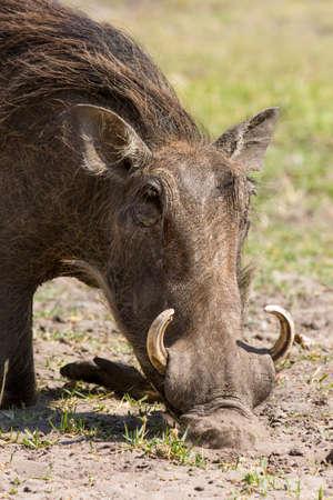 bush hog: African wild boar feeding Namibia