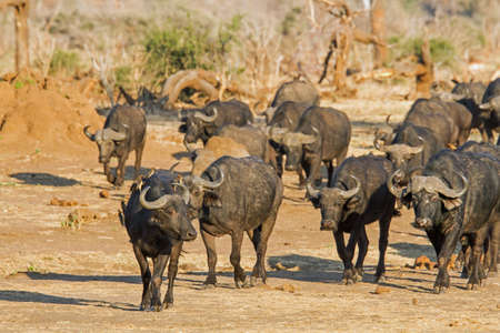 oxpecker: A herd of cape buffalo approach a waterhole with accompanying red billed oxpecker