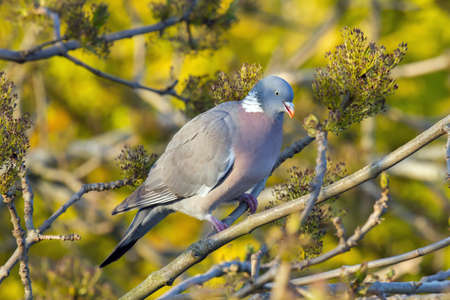 roost: Wood pigeon eating seeds from a tree Stock Photo
