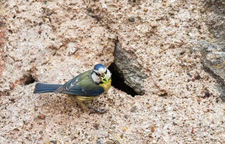 blue tit: Blue tit feeding its young Stock Photo