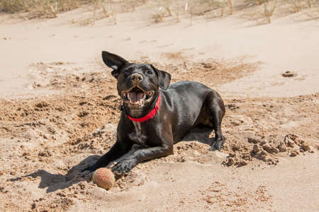 retrieving: Happy black dog playing with a ball on the beach