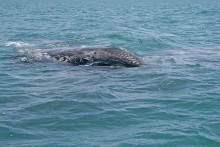gray whale: Gray whale calf investigating a small boat in a lagoon, Baja, Mexico