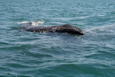 gray: Gray whale calf investigating a small boat in a lagoon, Baja, Mexico