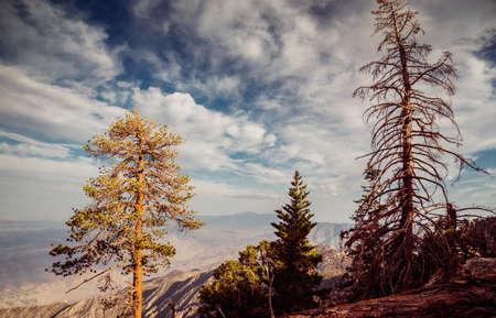 ponderosa pine: San Jacinto Peak View