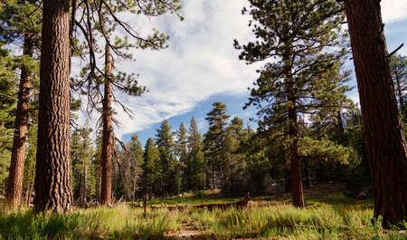 ponderosa pine: San Jacinto Meadow Stock Photo