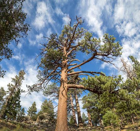 jeffrey: San Jacinto Tree