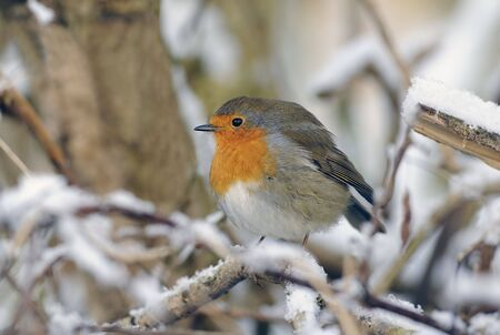 robin redbreast () sitting on a tree branch in the snow