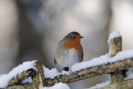 robin bird: european robin perched on a fence in the snow