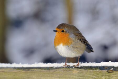 european robin perched on a fence in the snow
