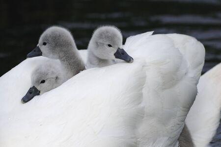 mute swan cygnets photo