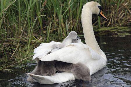 mute swan family Stock Photo - 7646642