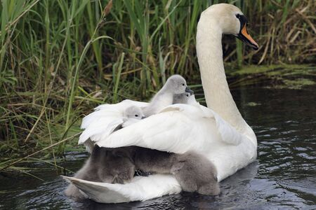 mute swan family Stock Photo - 7646642