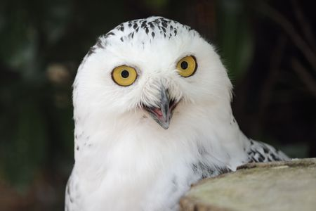 a snowy owl staring into the camera Stock Photo - 7790072