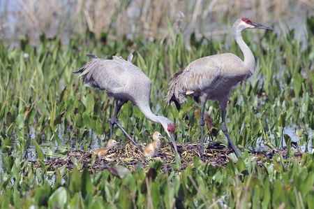 a pair of sandhill cranes at the nest with recently hatched young Stock Photo - 7920210