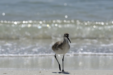 wading: shore wading bird, florida
