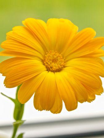 Marigold Daisy Flower photo