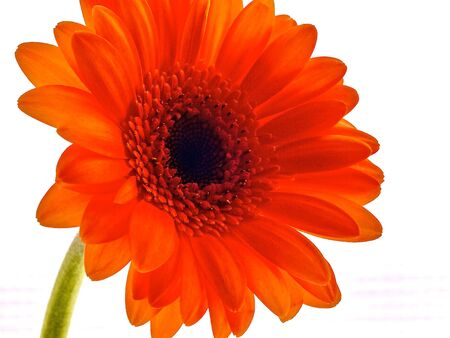 Gerber Flower Daisy close up on white background Stock Photo - 6029948