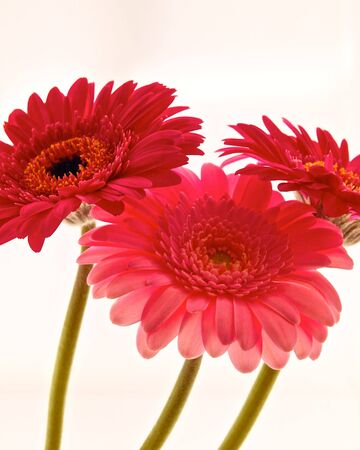 daises: Three Gerber Flower Daises,close-up Stock Photo