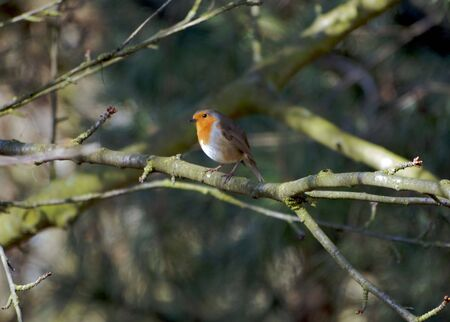 Robin Red Breast Stock Photo - 6110960