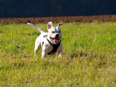 Dog Staffordshire Bull Terrier photo