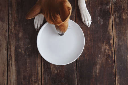 Dog tries to eat from empty ceramic plate on old vintage brushed wooden table with white top view. Concept