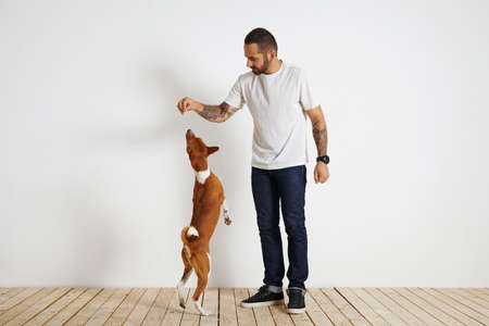 rant: Full length shot of an attractive tattooed and bearded young man in white shirt and dark jeans training a young basenji dog. The dog is standing on its rear paws trying to get a treat from its owners hand. Against white wall