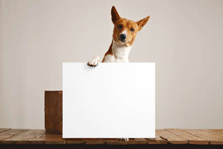 Adorable brown and white basenji dog holding a large blank white sign in a studio with white walls and beautiful rustic brown wooden floor Standard-Bild