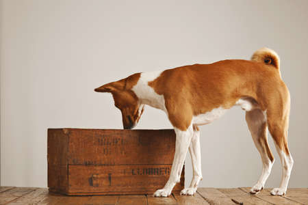 Brown and white basenji dog sniffing air and looking into a vintage brown wine box in a studio with white walls Stock Photo