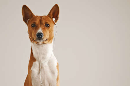 groovy: Portrait of a brown and white basenji dog wearing white earbuds looking into the camera isolated on white