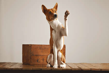 obedient: Cute obedient brown and white basenji dog giving a high five sitting on a wooden pedestal next to a vintage wine crate