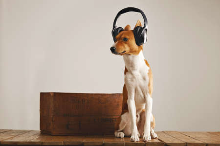 Basenji dog wearing large black and silver headset sniffing air sitting next to a wooden wine crate in a studio Stock Photo