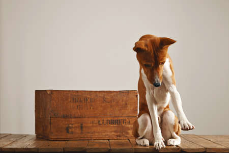 canine: Adorable brown and white basenji dog looking at the floor and trying to catch something next to a vintage brown wine crate against white wall background.
