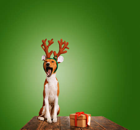Adorable basenji puppy dressed in Christmas reindeer antlers sings with mouth wide open sitting next to a present in a box isolated on green Stock Photo