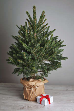 Lush and green small Christmas tree without decorations in a pot with a small present next to it in a studio with white walls