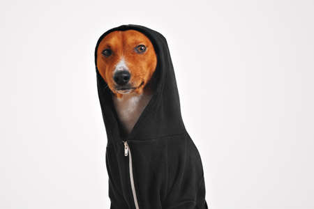 perro asustado: Thoughtful and frightened looking brown and white dog in black cotton hoodie with hood up looking on camera, isolated on white