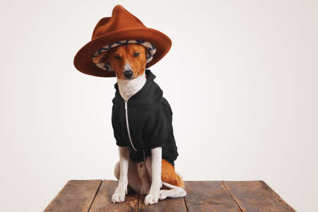 perros vestidos: Basenji dog in a black hoodie wears a fancy camel mountain hat with colorful lining in studio with white walls