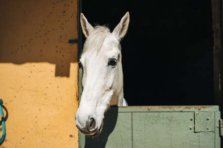 White horse looks throw window of stable with green door and yellow wall on ranch, close up view