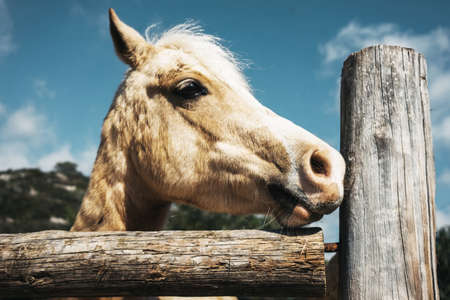 Beige beautiful horse stands in pen outside in riding school, close up view