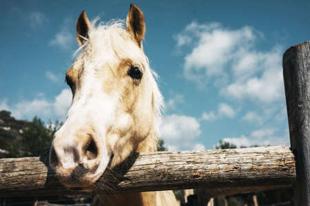 Beige beautiful horse stands in wooden pen outside in riding school, close up view
