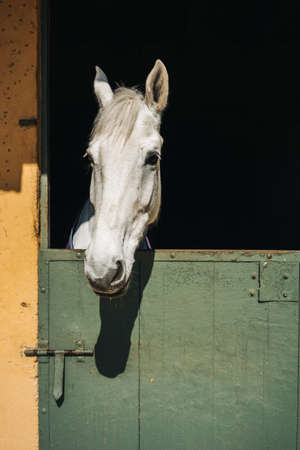White horse looks throw window of stable with green door and yellow wall on ranch Standard-Bild