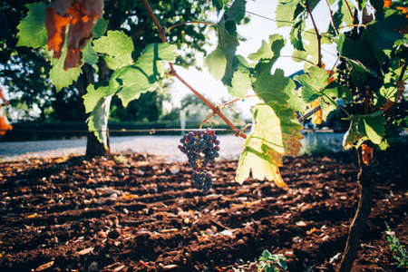 Close up of bunch of grapes hanging from bush tree, sunset light rays go through leaves, country life in provence wine making region, plantation of fruits