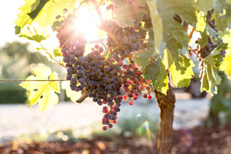 Close up of bunch of ripe and organic biological ecological grapes hanging from branch in warm sunset sunlight and leaves green in autumn season