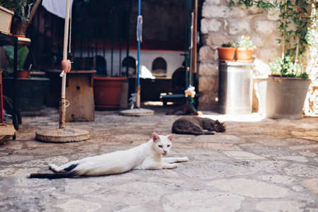Skinny sad lonely white dirty stray cat lays sprawled on cobbled floor, lazy and sleepy in morning sun, in old european town