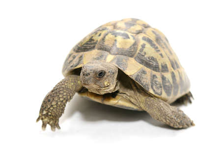 amphibians: a turtle that walks